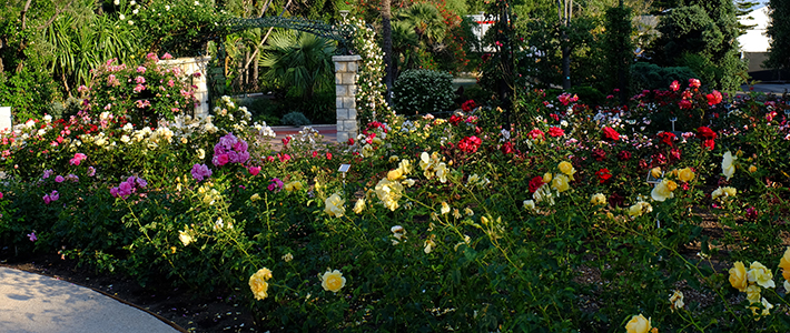 garden with pink, yellow, orange and red roses in green bushes